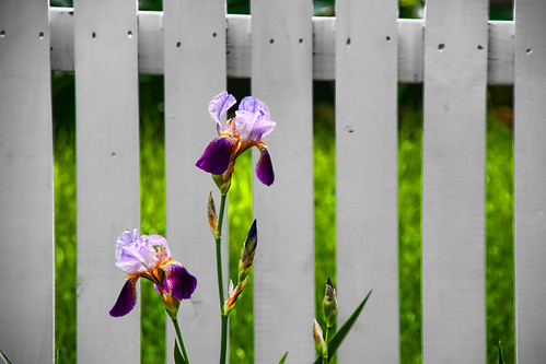 The Iris by the Fence