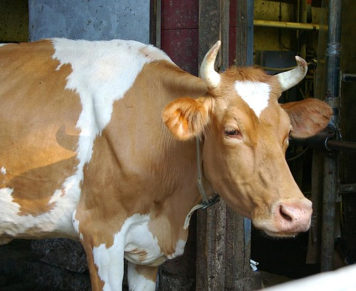 Olga the Cow