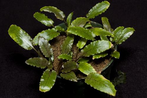 Cryptocoryne wendtii 'Green 01'