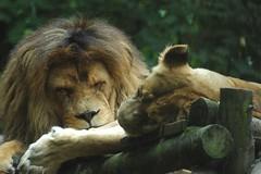 Löwen im Zoo Parc de Beauval