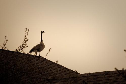 102/365 | rooftop goose