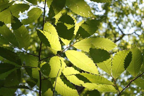 Old Rag - Backlit American Chestnut Leaves