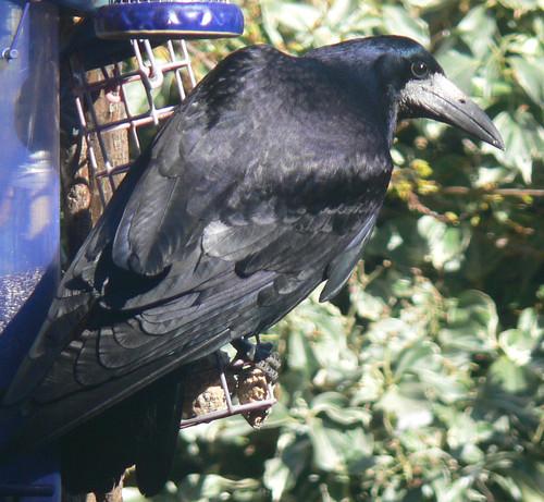 Bird-table rook
