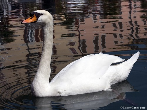 Desenzano Swan