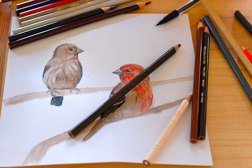 working on house finches