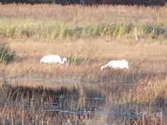Wild Whooping Cranes