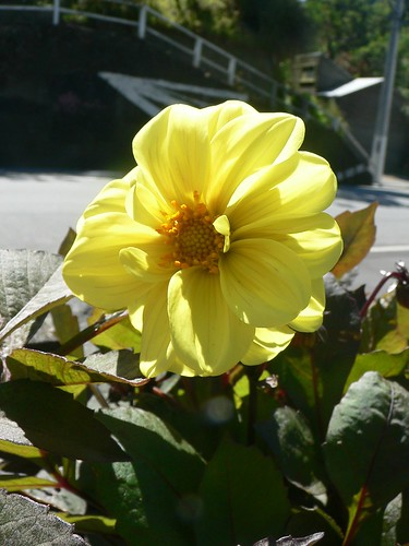 Yellow dwarf dahlia flower.