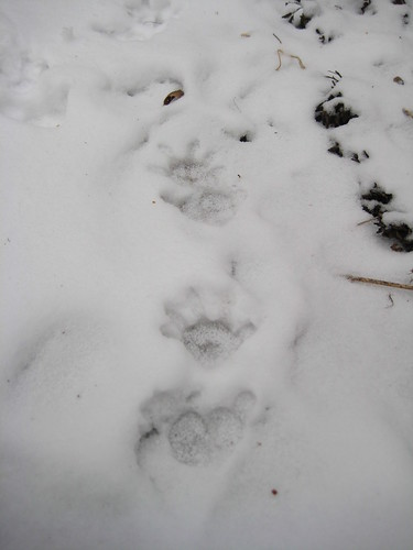 Raccoon tracks?