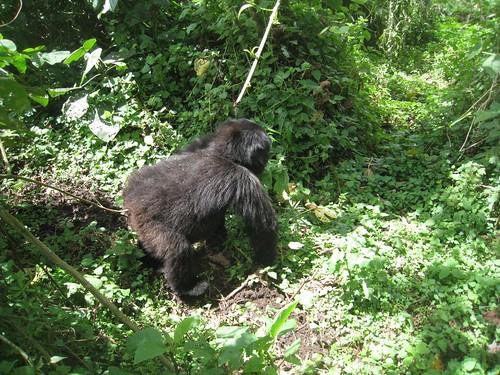 An adolescent gorilla