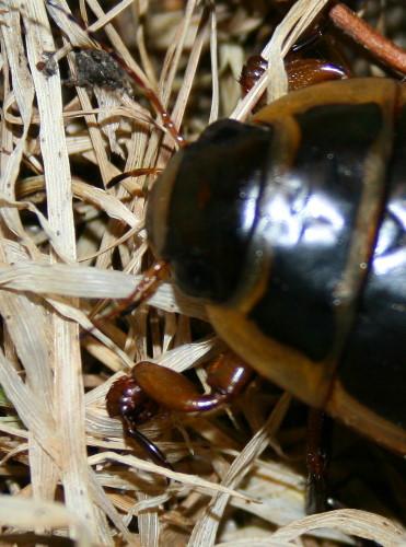 Predaceous diving beetle, prob. Dytiscus cordieri