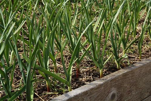 Garlic As Of April 3rd 2010