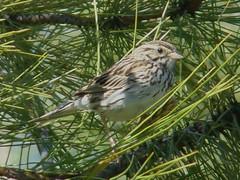 Jun8,2010-d 026 Mystery Sparrow