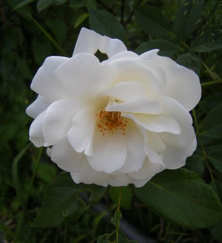 Angefressene Rose