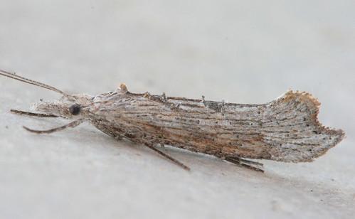 2380 - Ypsolopha falciferella (2)