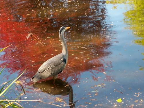 Grey Heron at the lake at Rathfarnham Castle 10