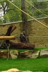 351 - 2017 07 01 - Chimpanseeverblijf
