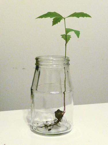oak treeling in a jar