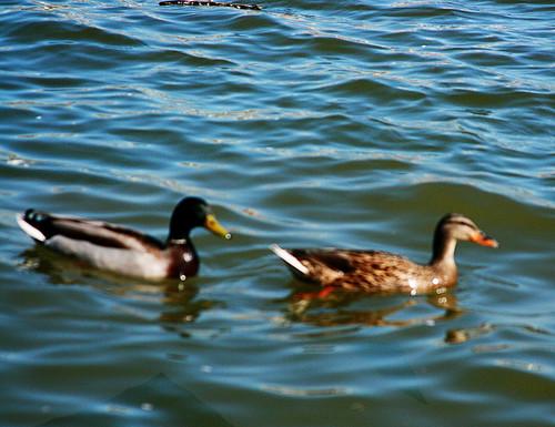 365-108 ducks