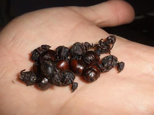 Colombian Hormigas 3