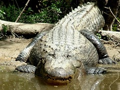 El Whappo, a 13 foot long alligator in Louisiana's West Pearl River