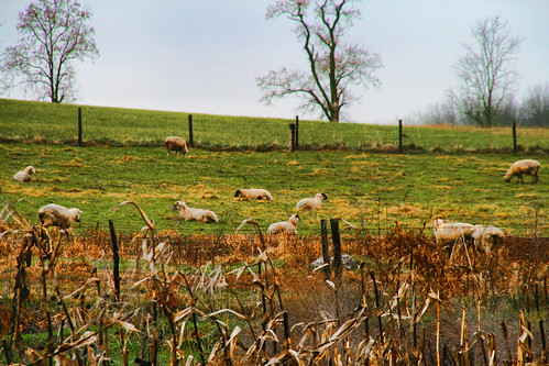The Sheep in the Field