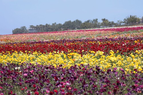 carlsbad flower fields 5/1/10