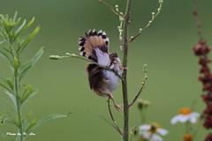 棕扇尾鶯Fan-tailed Warbler