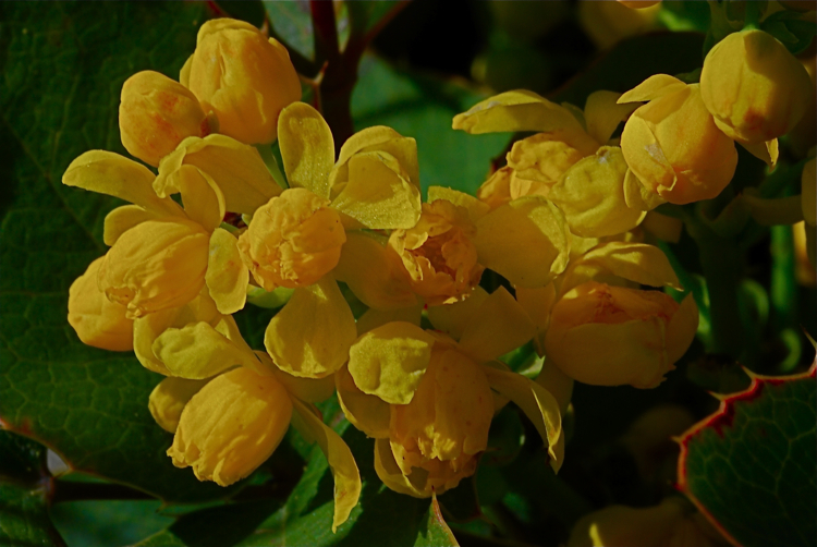 Oregon Grape in April