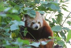 Roter Panda im Zoo de Doué-la-Fontaine