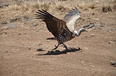 Vulture - Nairobi National Park