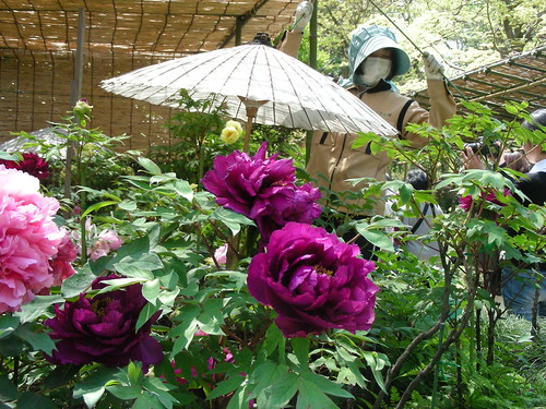 parasol and paeonies