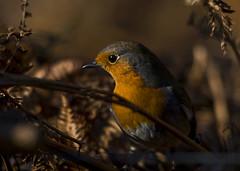 Robin in bracken