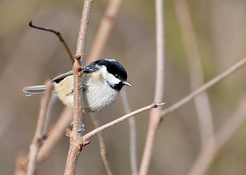 Coal Tit by stanmarston, on Flickr