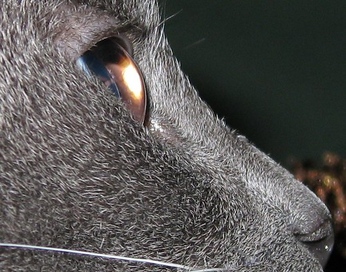 A closeup to the last image of Fey's face, showing lots of detail in her fur, and showing her eyelashes.