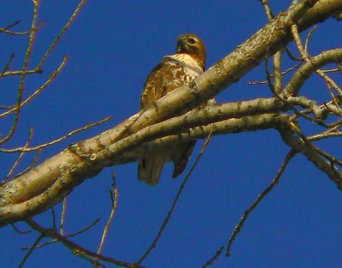 First Year Hawk
