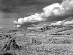 A field of stooked grain