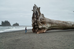 La Push First Beach tree Twilight Series