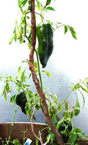 Poblano Peppers in my Garden