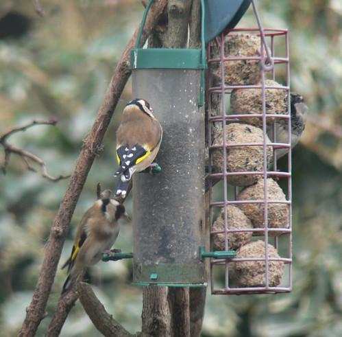 Garden Birdwatch (1)