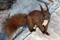 Squirrel, Ukraine