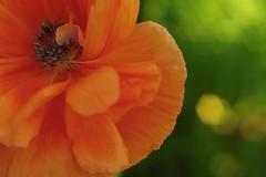 Leland poppy.