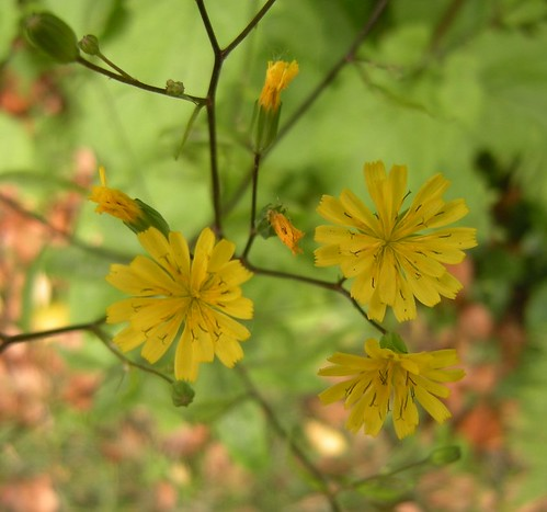 Crepis capillaris - Kleinköpfiger Pippau 2