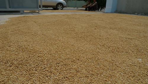 rice drying in viet nam