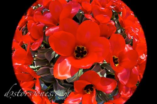 Mundo de tulipanes rojos