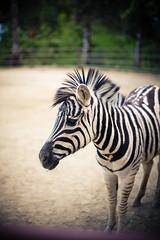 Danger the Zebra