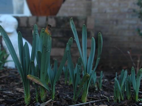 Daffodils2 031310