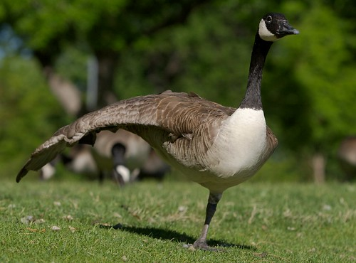 Goose Aerobics