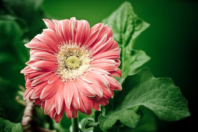 {154/365} Gerbera daisy