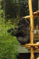 360 - 2017 07 01 - Gorilla (Matadi)