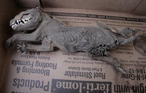 Mummified Opossum